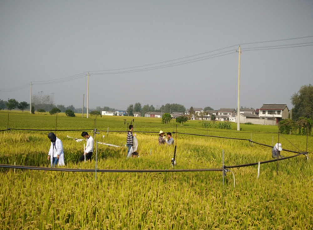 climate needed to grow rice