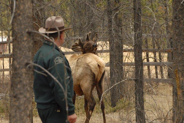 A park ranger observes an elk