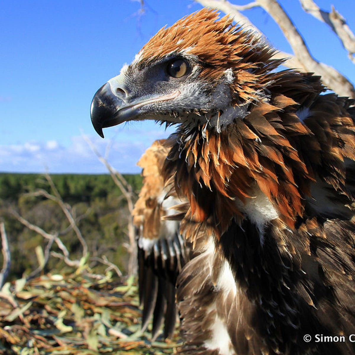 Mass Slaughter Of Wedge Tailed Eagles Could Have Australia Wide Consequences
