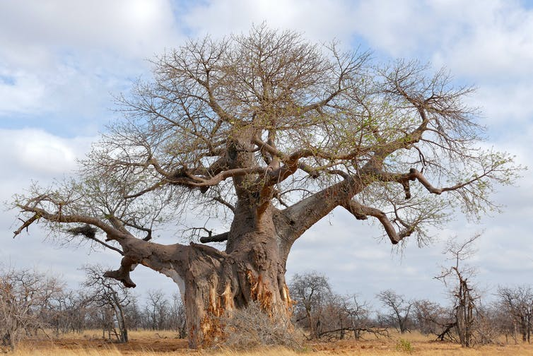 The Adansonia digitata can grow to be as old as 2,500 years old. (Photo credit: Bernard Dupont/Flickr, CC BY-SA)