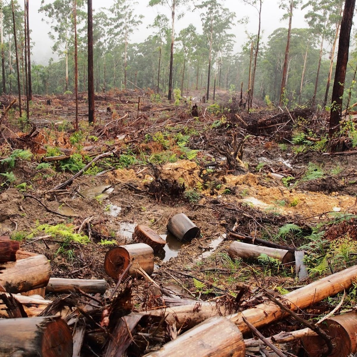 Proposed NSW logging laws value timber over environmental