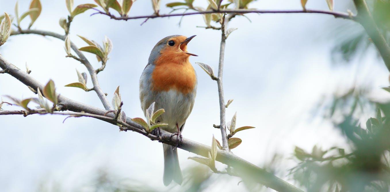 Curious Kids  Why do birds sing  7a1516bd614e1