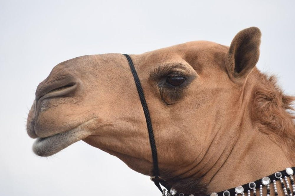 Camel 25 Worst