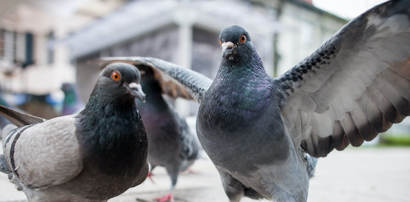 Where are all the dead pigeons?