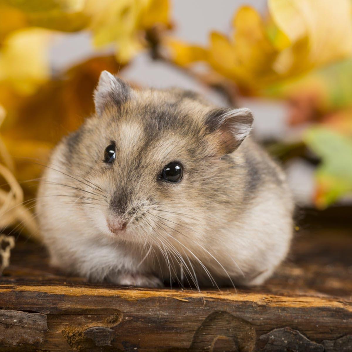Obesity Hamsters May Hold The Clue To Beating It