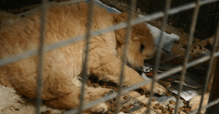 Victoria's puppy farms and pet shop laws a world first