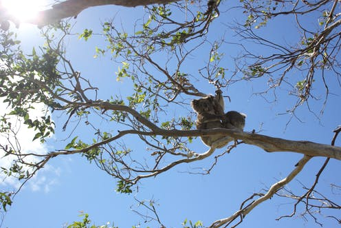 Koalas sniff out juicy leaves and break down eucalypt toxins