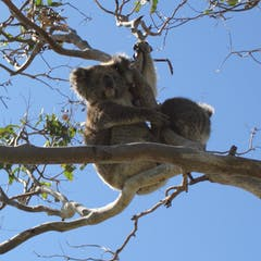 347a34474161 Koalas sniff out juicy leaves and break down eucalypt toxins – it s in  their genome