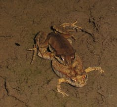 Friday essay: frogwatching - charting climate change's impact in the here and now