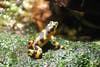 The Panamanian golden frog has not been seen in the wild since 2006.