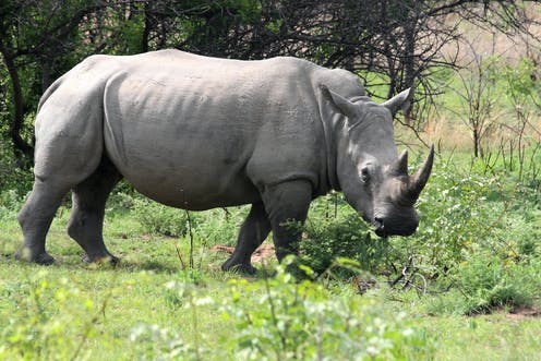 Hybrid Embryos Raise Hope Of Resurrecting Northern White Rhino But What S The Point
