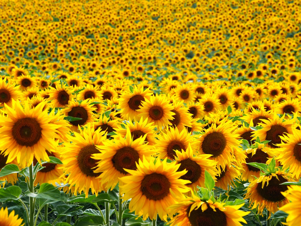 New Year Flowers- Sunflowers