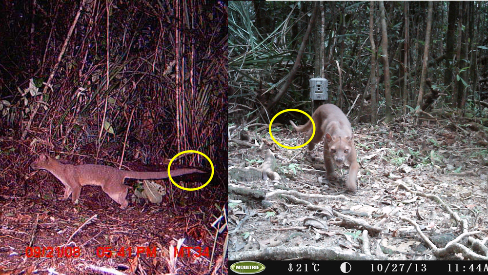 caught on camera the fossa madagascar s elusive top predator