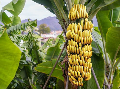 Prehistoric People Started To Spread Domesticated Bananas
