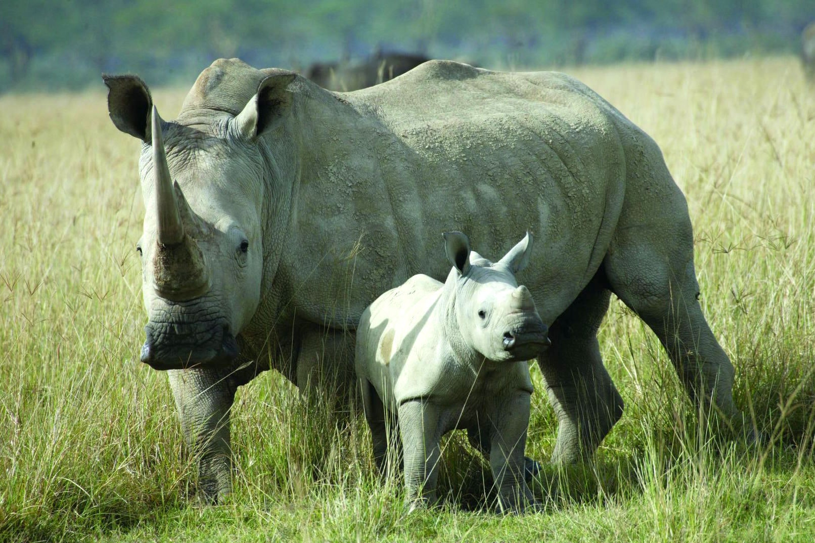 The case for introducing rhinos to Australia