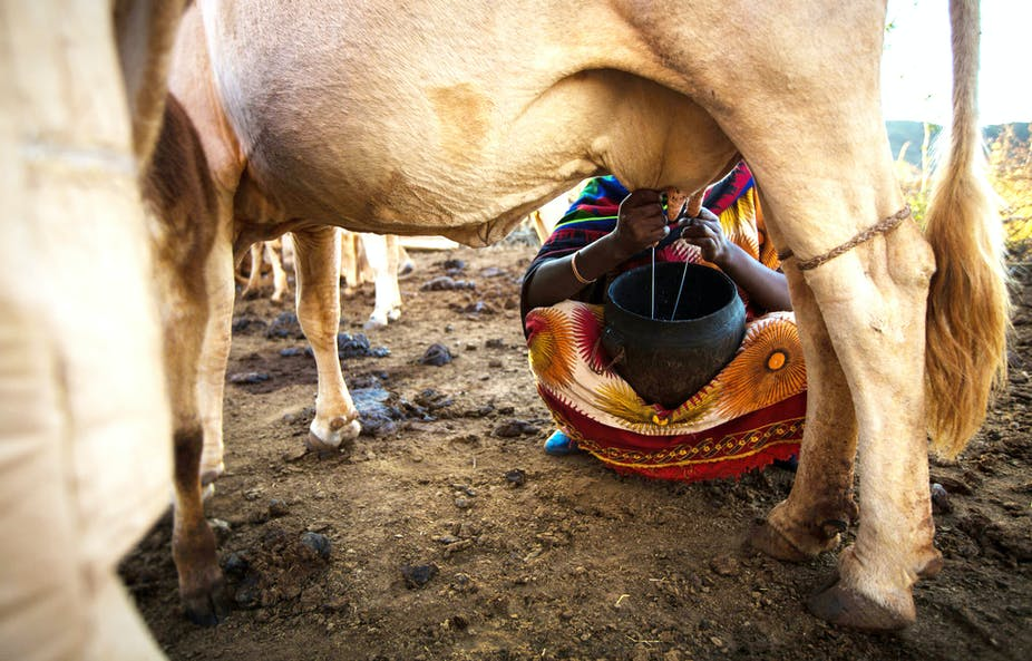 Why Ethiopia's dairy industry can't meet growing demand for milk