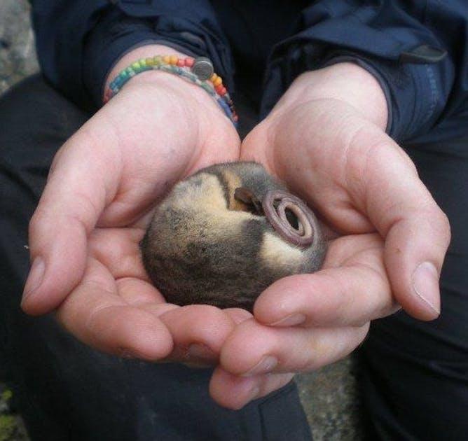 Australian Endangered Species Mountain Pygmy Possum