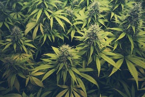 Afbeeldingsresultaat voor cannabis