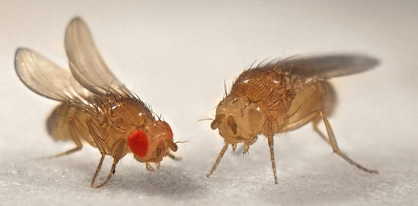 Drosophila report
