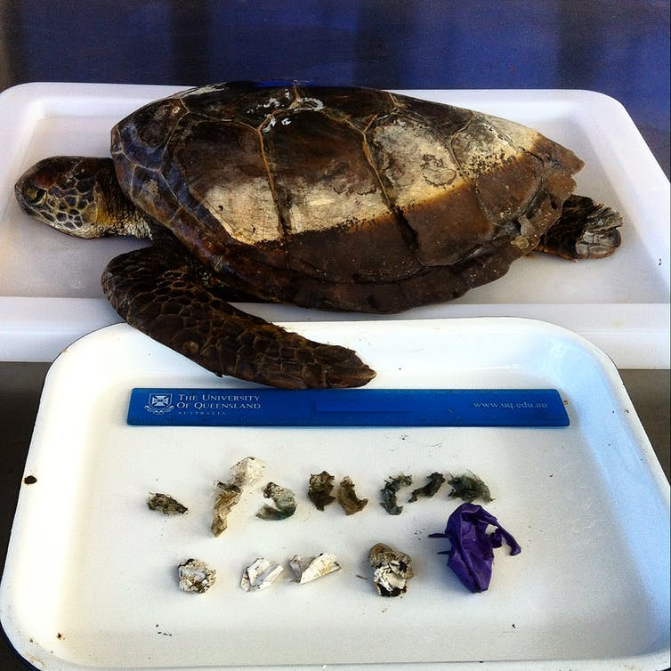 How much plastic does it take to kill a turtle? Typically just 14 pieces
