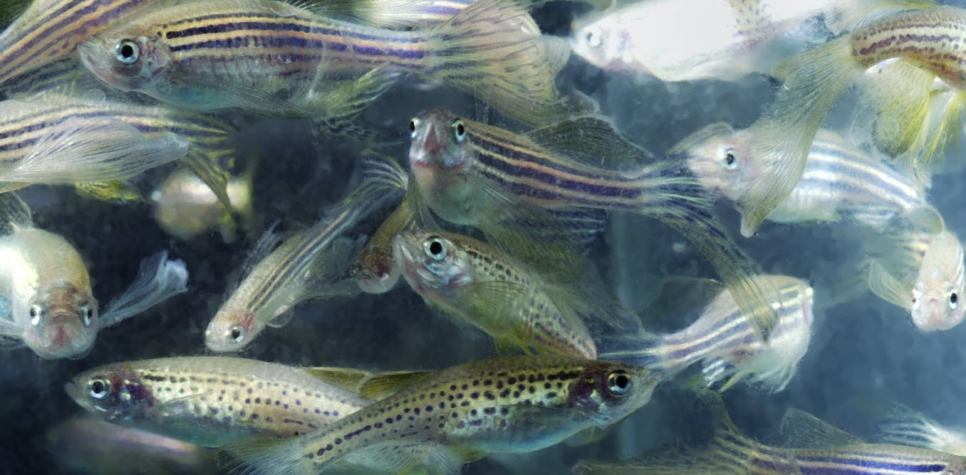 animals in research zebrafish