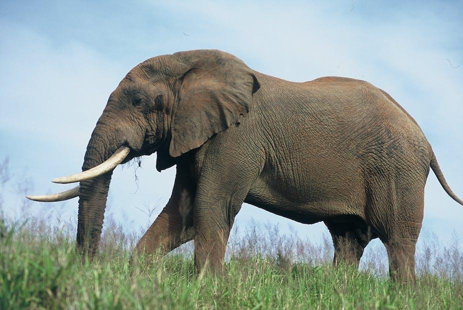 Elephant a wild animal