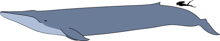 A diagram showing the scale of a blue whale to an adult human