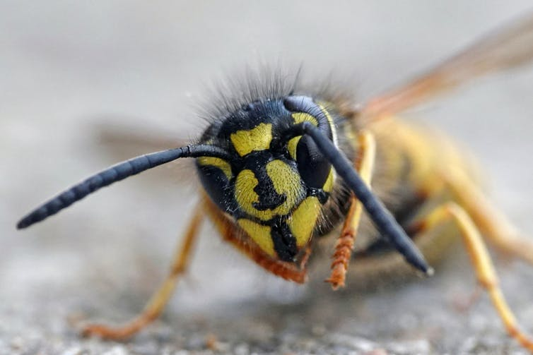 Are they watching you? The tiny brains of bees and wasps can recognise faces