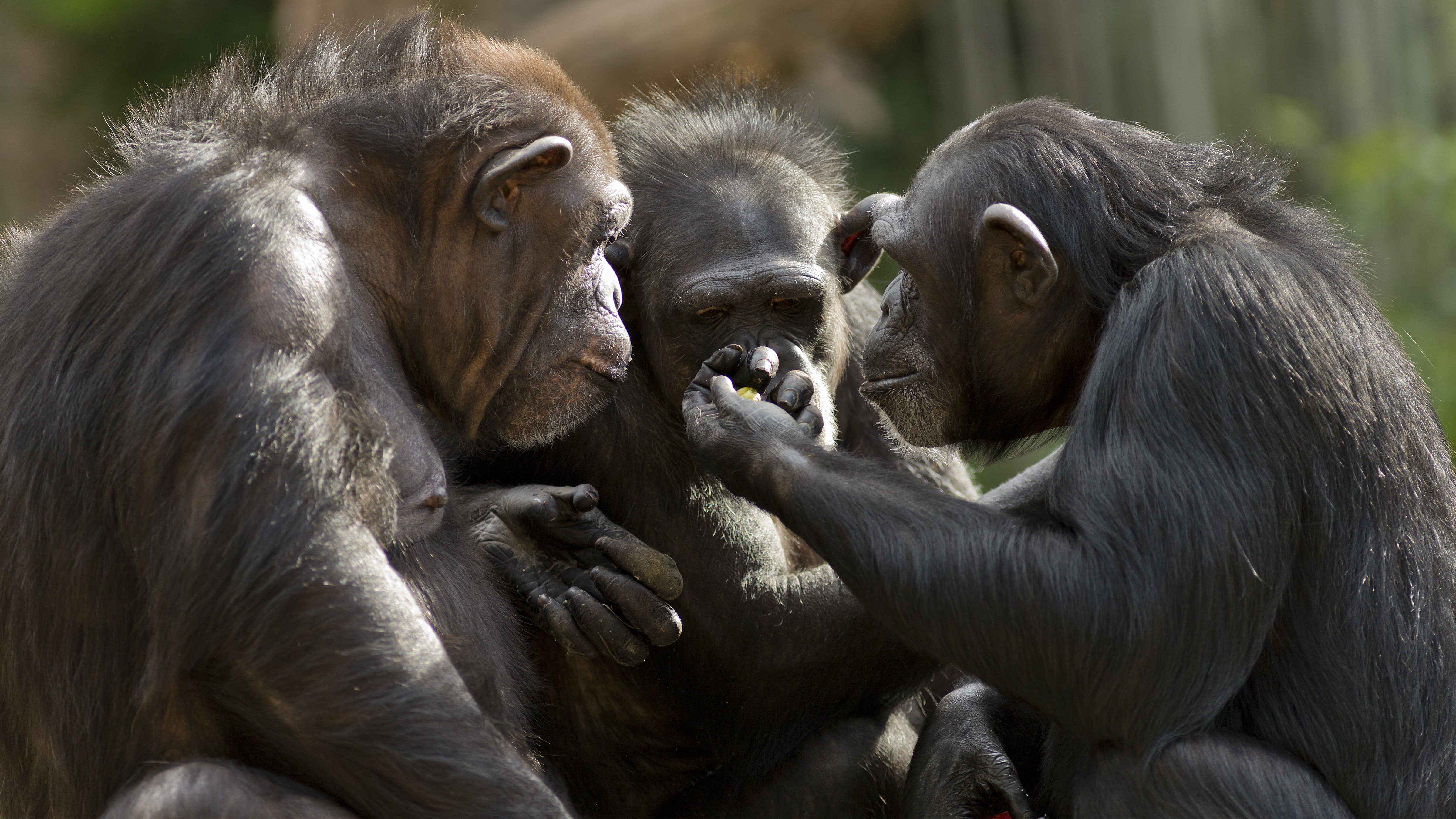 Why apes can't talk: our study suggests they've got the voice but not the brains