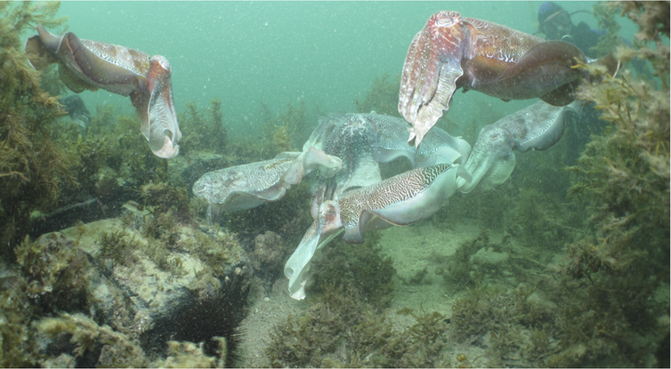 Why we're watching the giant Australian cuttlefish