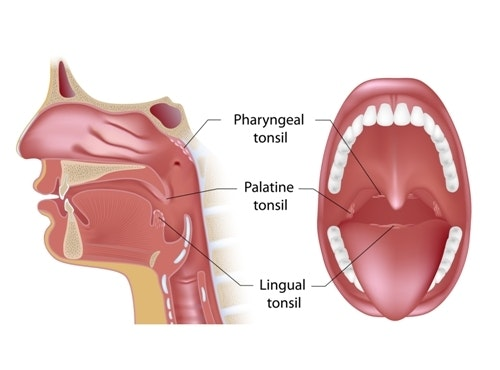Image result for tonsils