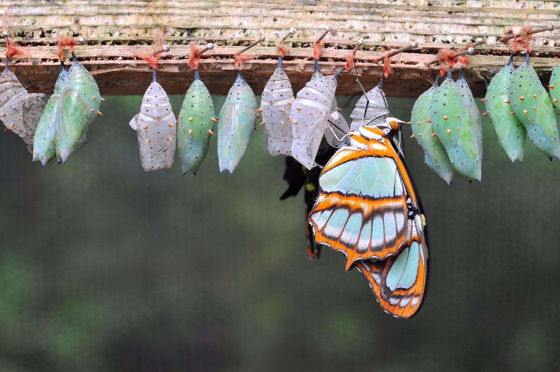 curious kids  do butterflies remember being caterpillars