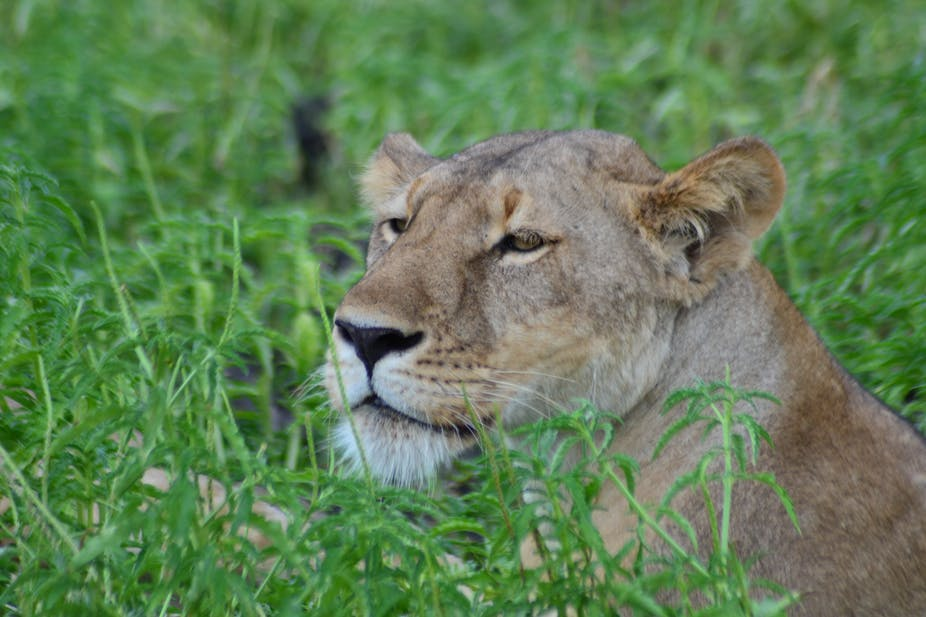 South Africa's role in the trade in lion bones: a neglected story