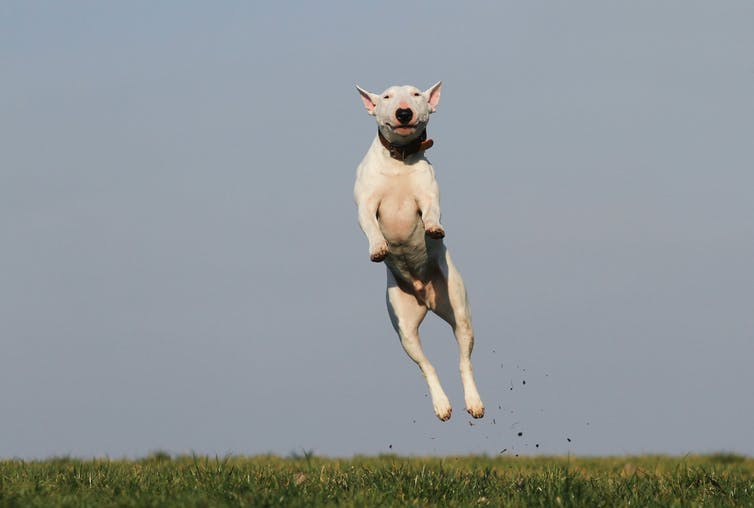 English Bull Terrier jumps in the air
