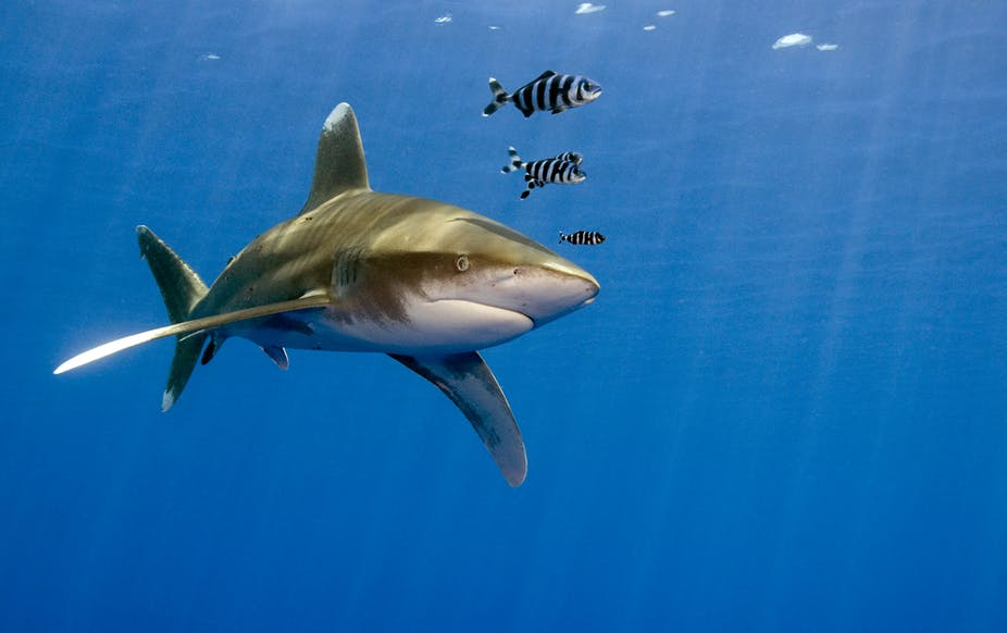 new large shark species heading for the uk that s no cause for panic