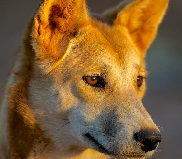 Why the WA government is wrong to play identity politics with dingoes
