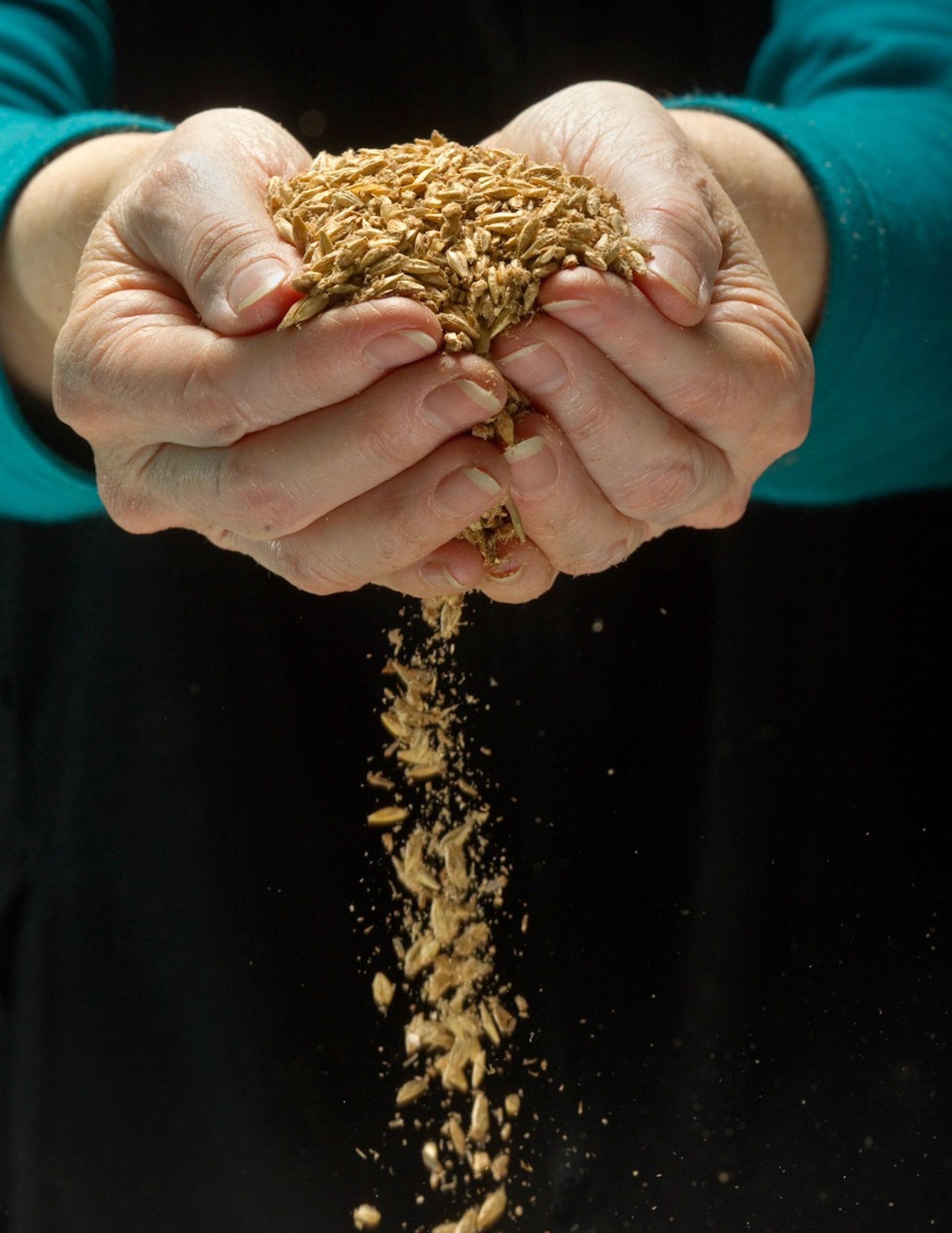 Genetically engineered wheat | IFIS Publishing