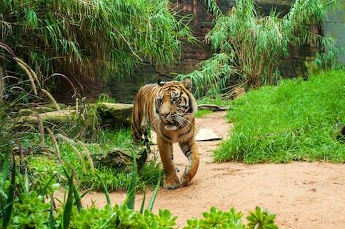 Untuk Melindungi Harimau Sumatra Kami Petakan Desa Desa Di Jambi Dengan Tingkat Risiko Konflik Manusia Harimau Tinggi