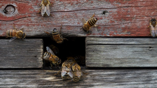 theconversation.com - Olivia Norfolk - Keeping honeybees doesn't save bees - or the environment