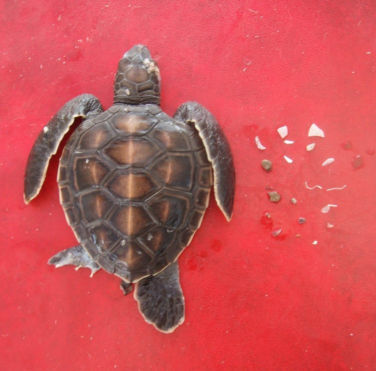 How Much Plastic Does It Take To Kill A Turtle Typically Just 14 Pieces