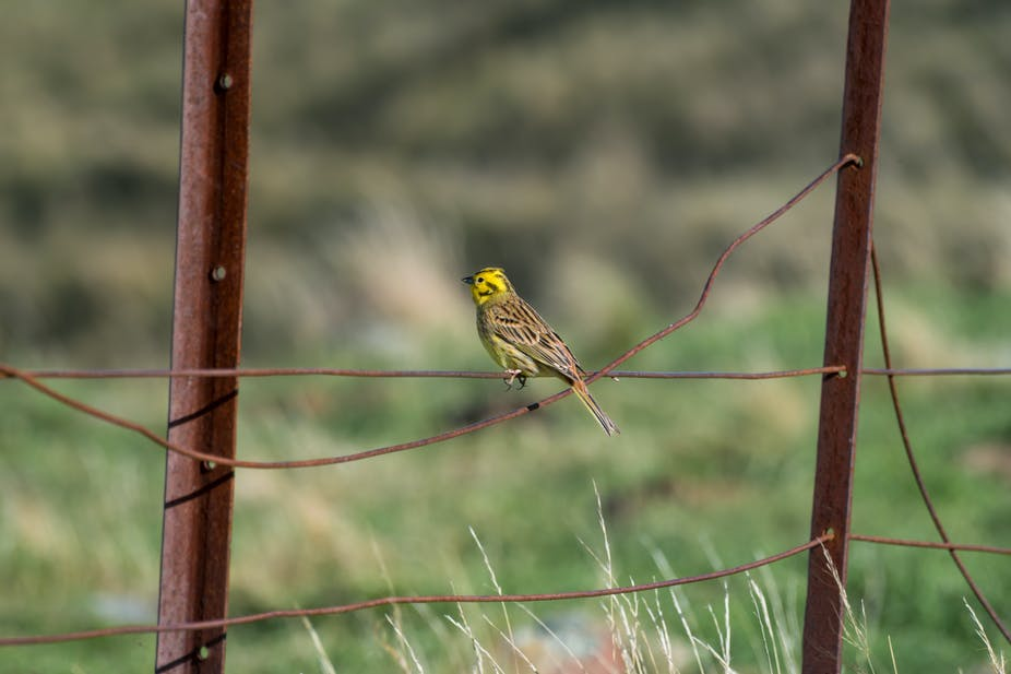 yellowhammer the brexit bird with a story to tell about the eu