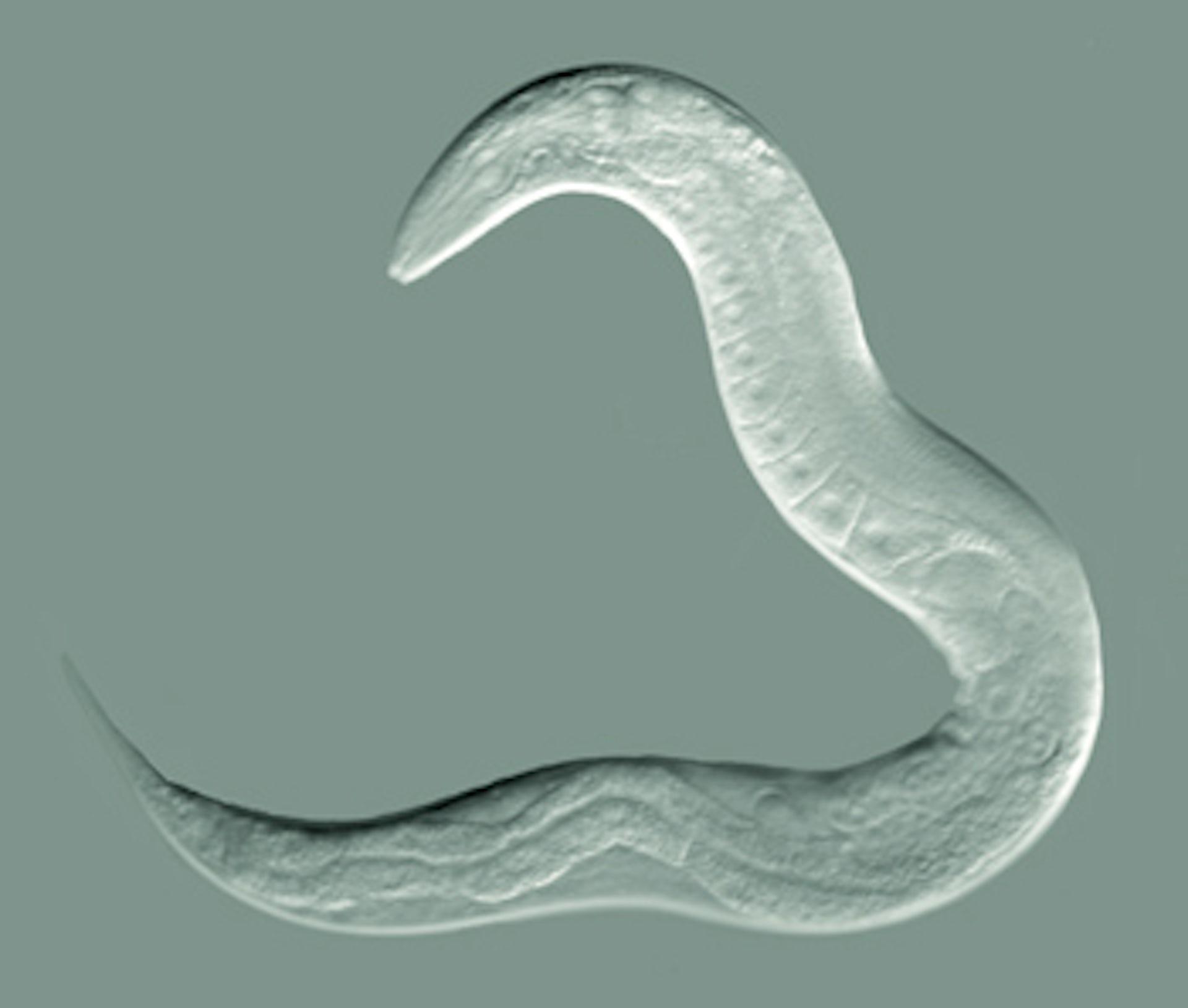 Resultado de imagen para 'C. elegans