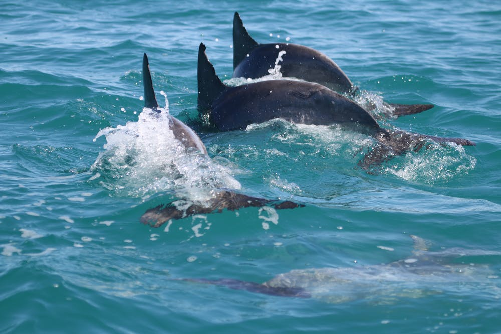 Triple synchronous dive by a trio of allied male bottlenose dolphins (Tursiops aduncus) in Shark Bay, Western Australia. Stephanie King / The Dolphin Alliance Project, Author provided