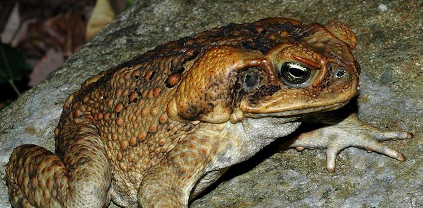 Could Team New Zealand Help Us Innovate In Education: We've Cracked The Cane Toad Genome, And That Could Help