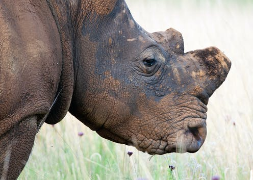 Rhino horn must become a socially unacceptable product in Asia