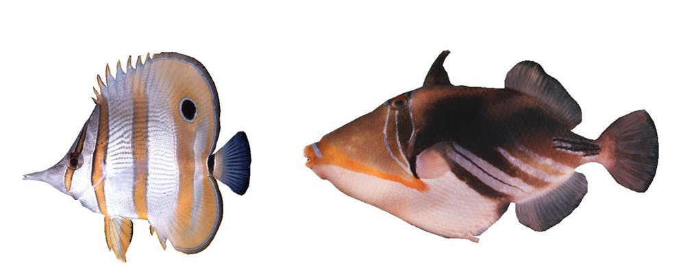 why does nemo the clownfish have three white stripes the riddle