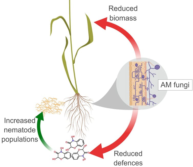 'Soil probiotics' promise bigger, healthier crops, but there's a downside