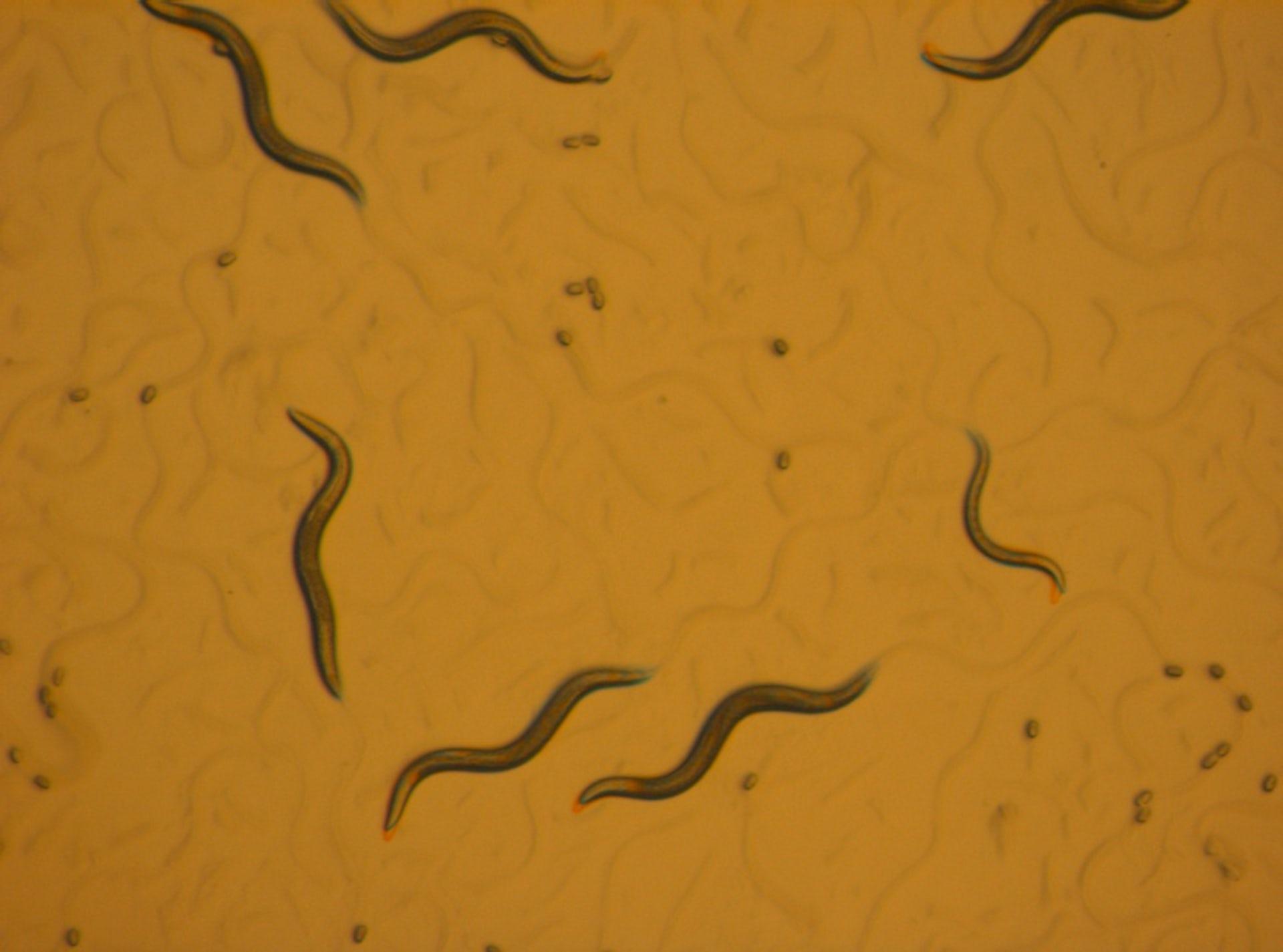 Animals In Research  C  Elegans  Roundworm