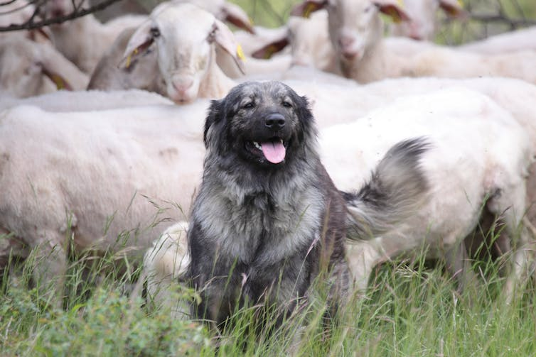 Guardian dogs, fencing, and 'fladry' protect livestock from carnivores