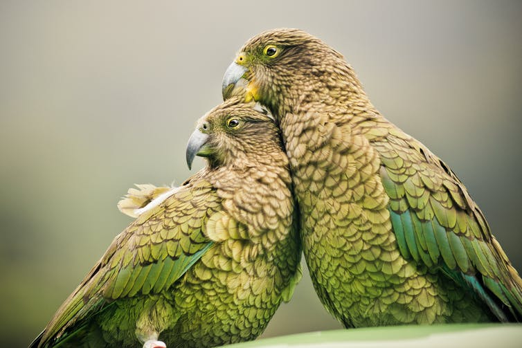 vegetarian parrots can turn carnivore or even cannibal